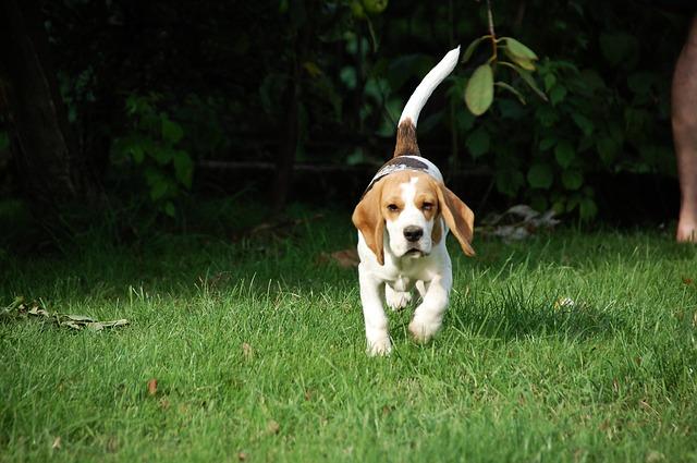 beagle-para-crianças