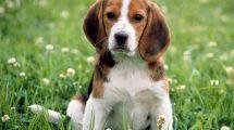 Saiba tudo sobre o Beagle
