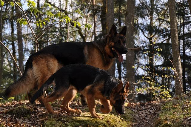 german shepherd pastor alemao