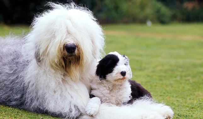 Raça Old English Sheepdog
