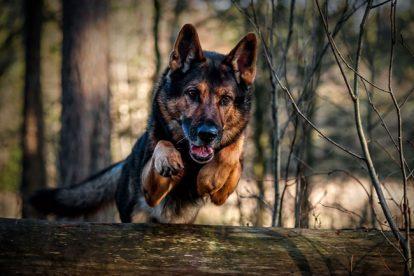 pastor alemão correndo