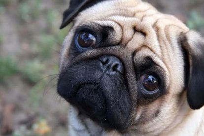 pug cachorro