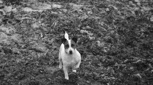 cachorro vira lata adotar