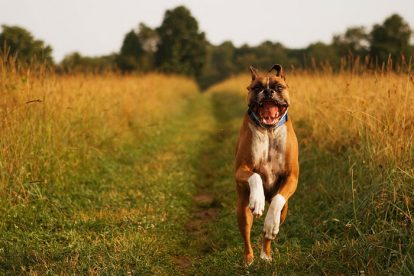 Boxer correndo