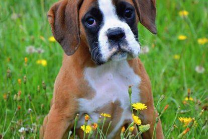 Boxer filhote grama