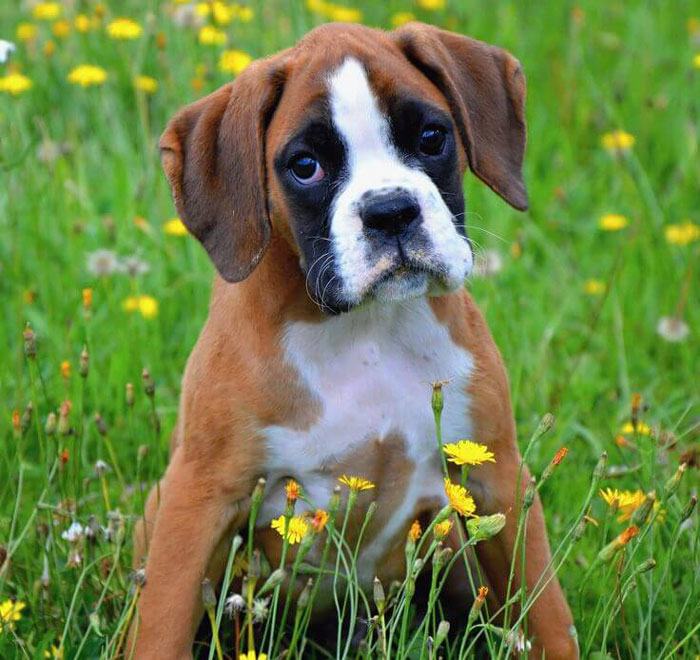 What Are Good Names For A Boxer Dog