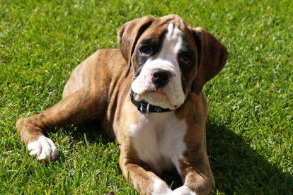 Boxer filhote na grama