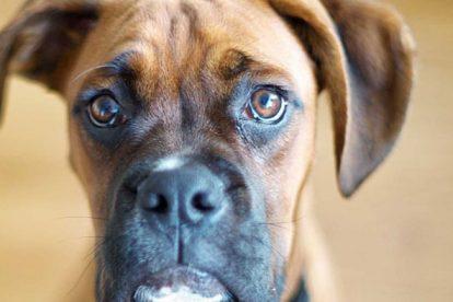 Boxer imagem