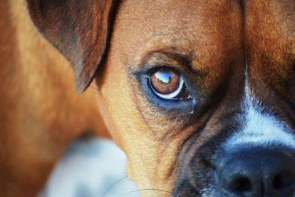 Boxer rosto