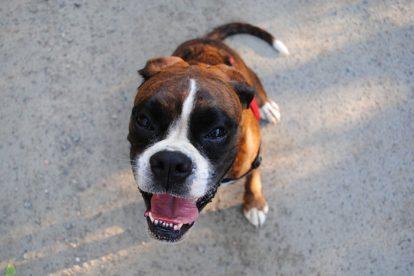 Cachorro Boxer sorrindo