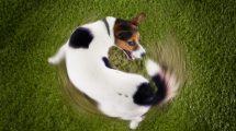 Cachorro andando em círculos