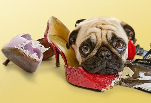 cachorro-mordendo-sapatos