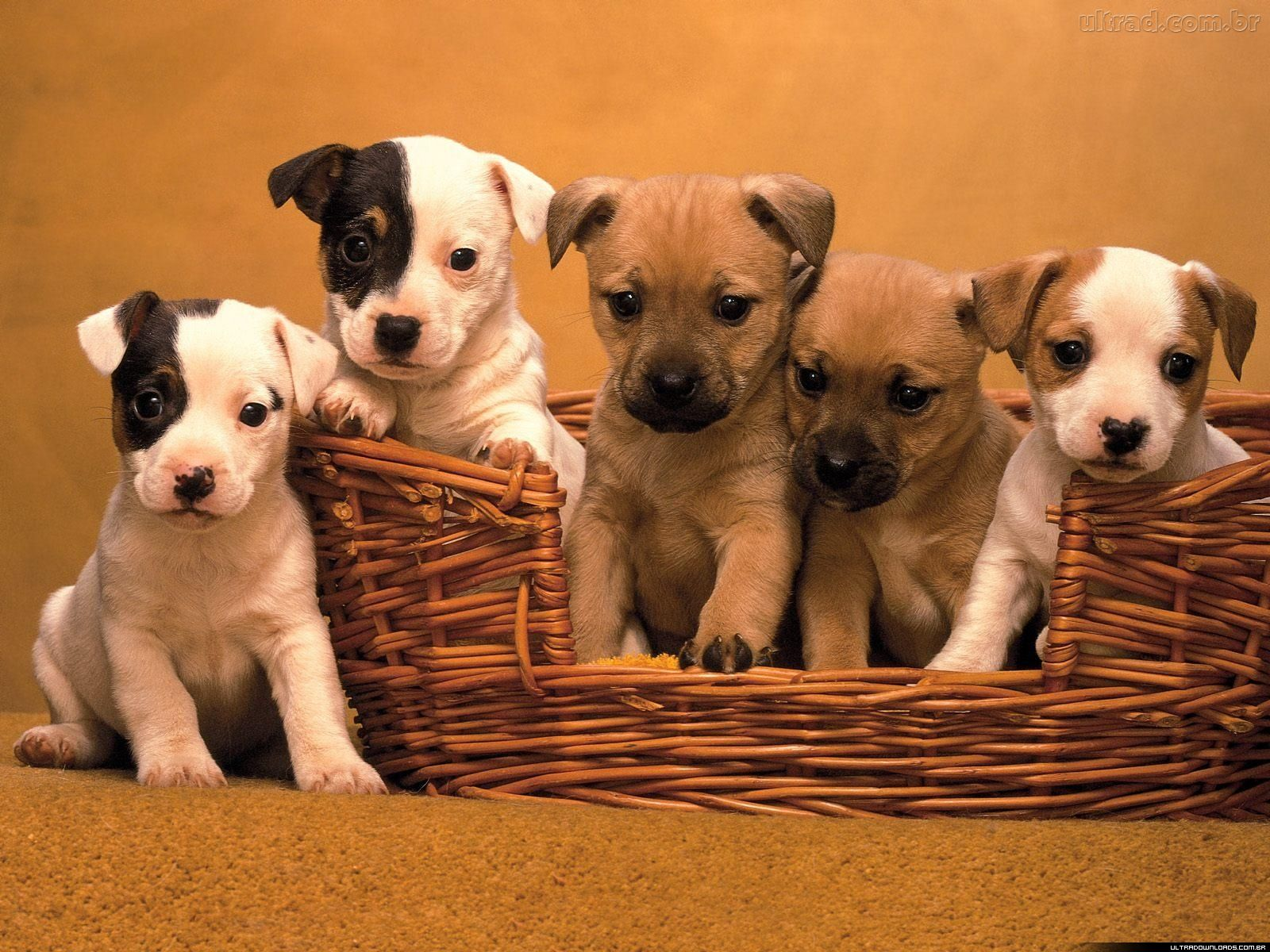 filhotes de cachorro cesto
