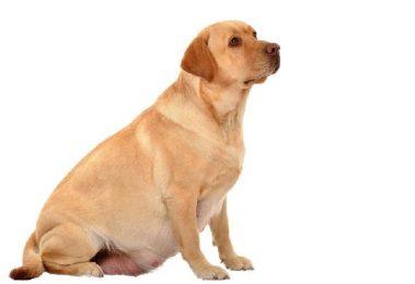 cuidados-com-a-cadela-grávida