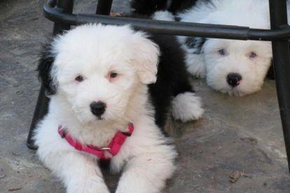 Filhotes Old English Sheepdog