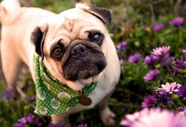 Fotos de cachorros da raça Pug. Acesse e veja mais!