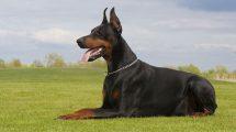fotos de cachorros doberman