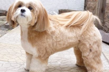 Lhasa Apso tosa
