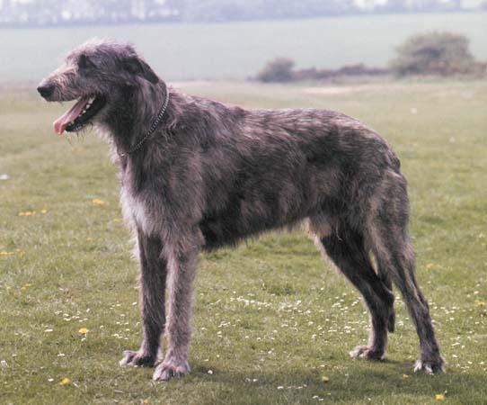 maiores-raças-de-cachorros-do-mundo-4