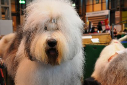 Old English Sheepdog cachorro