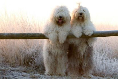 Old English Sheepdog casal