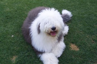 Old English Sheepdog deitado na grama
