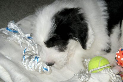 Old English Sheepdog dormindo