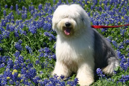 Old English Sheepdog flores