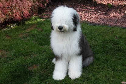 Old English Sheepdog jardim