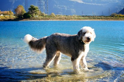 Old English Sheepdog lago