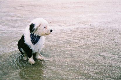 Old English Sheepdog na água
