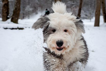 Old English Sheepdog na neve
