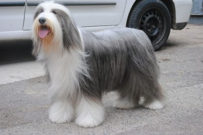 Old English Sheepdog penteado