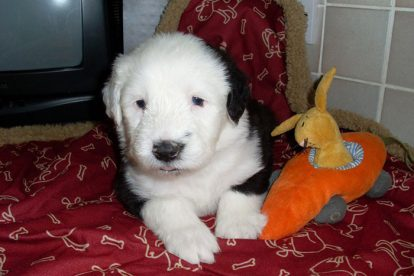 Old English Sheepdog pequeno