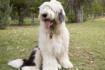 Old English Sheepdog sentado