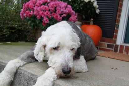 Old English Sheepdog tosado