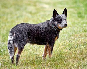 raças-de-cães-mais-inteligentes-do-mundo-2