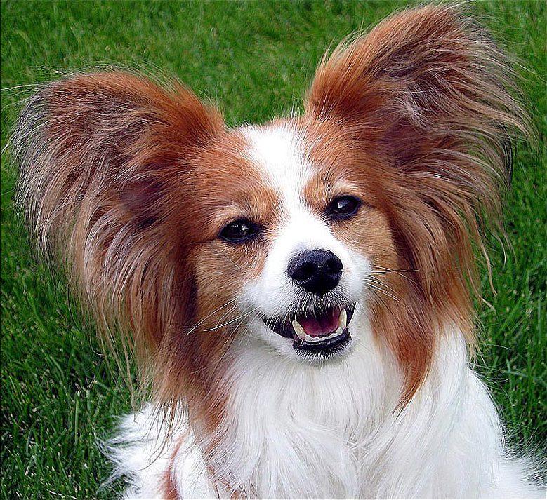 raças-de-cães-mais-inteligentes-do-mundo-4
