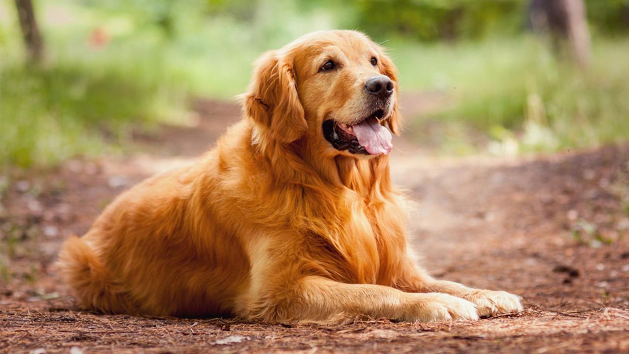 raças-de-cães-mais-inteligentes-do-mundo-8