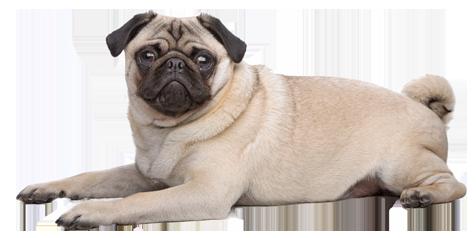 raças-de-cachorros-que-possuem-problemas-respiratorios-3