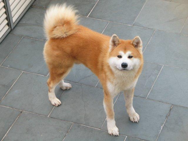 Akita Inu amarelo