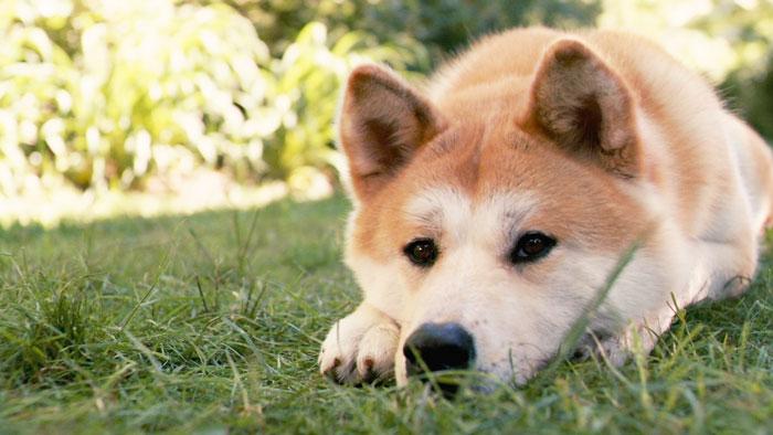 Akita Inu deitado na grama
