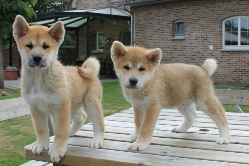 Dois filhotes de Akita Inu
