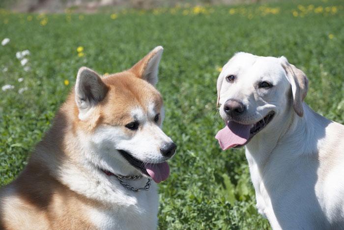 Akita Inu e labrador