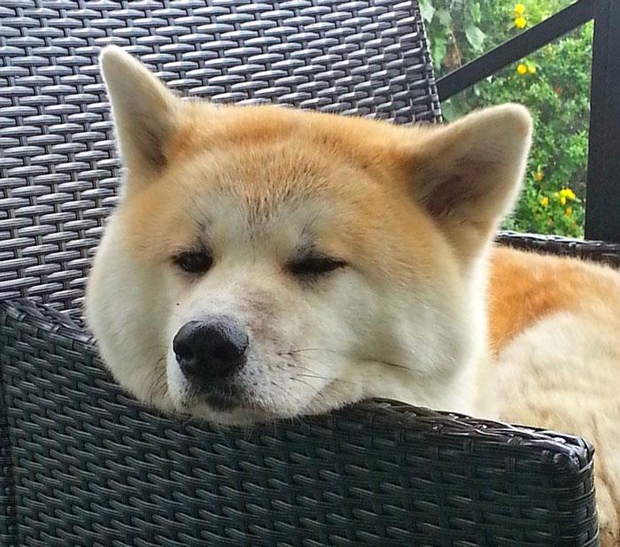Akita Inu dormindo na cadeira