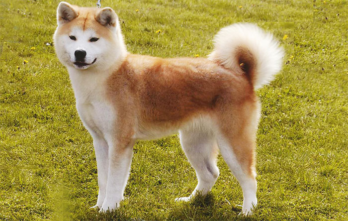 Hachi Film Dog Breed
