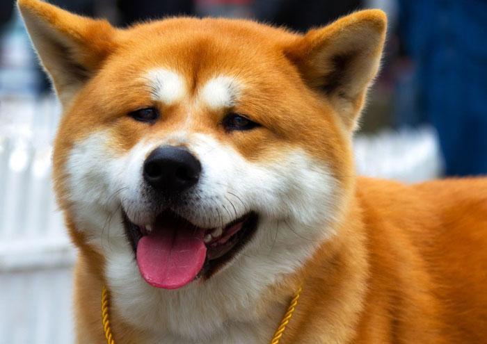Akita Inu igual raposa