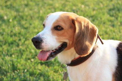Beagle adulto