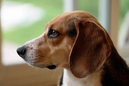 Beagle em apartamento
