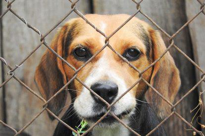 Beagle no canil